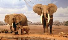 আফ্রিকায় আশঙ্কাজনক হারে কমছে হাতি