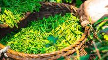 ভুল নীতি: রপ্তানির চার গুণ চা আমদানি