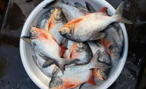 বগুড়ার হাটবাজারে বিক্রি হচ্ছে প্রাণঘাতী পিরানহা মাছ। ছবি- বিবার্তা২৪.নেট